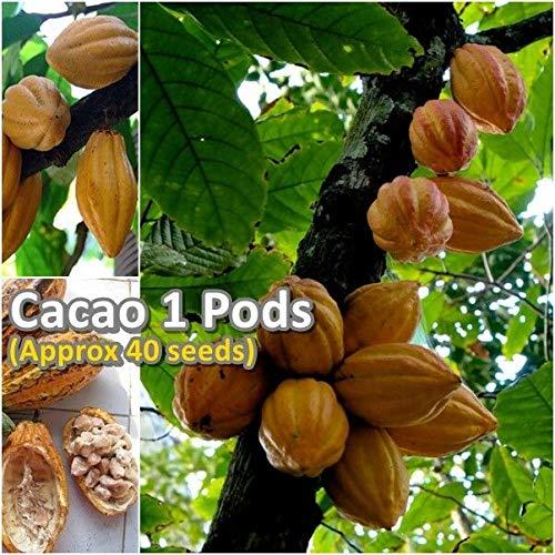 FERRY Bio-Saatgut Nicht nur Pflanzen: Cacao Theobroma Cacao 100 Samen (ca. 40 Samen) Exotische Rare Von Thai