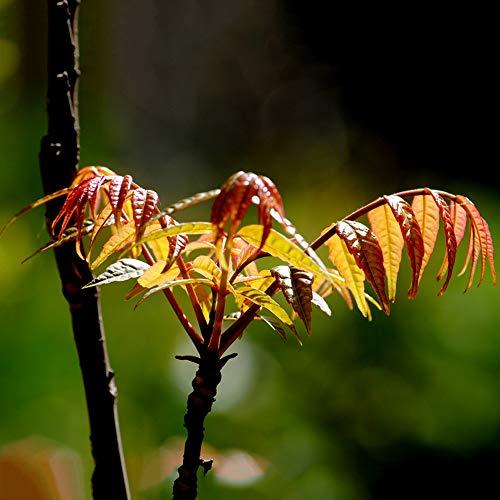 Zhouba Toon-Samen für Gartenpflanze, 40 Stück, chinesische Mahagoni-Toon-Samen, rotes Öl, Toona-Sinensis-Gartenpflanze, von Zhouba