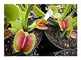 Exotic Plants Dionaea muscipula B52 - dionea atrapamoscas o Venus atrapamoscas - 5 semillas