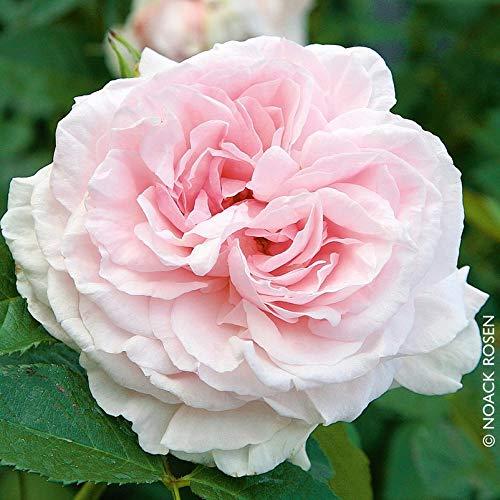 """Kletterrose """"Graciosa (Premium) - pastellrosa-weiß blühende Topfrose im 6 L Topf - frisch aus der Gärtnerei - Pflanzen-Kölle Gartenrose"""