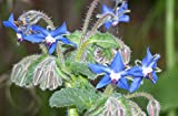 200+ Borage Seeds- Heirloom Herb Variety- by Ohio Heirloom Seeds