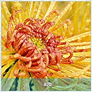 Bonsai - 100 Pcs/Pack Colorful Chrysanthemum Flower Bonsai High Germination Rate Plant Potted