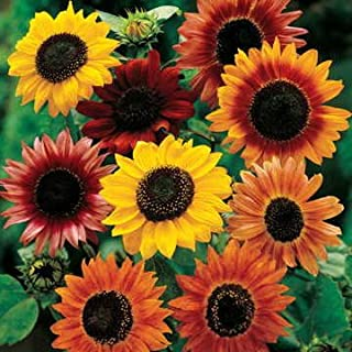 Park Seed Large Flowered Mix Sunflower Seeds