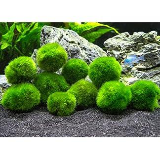 Aquatic Arts 10 Marimo Moos Kugeln, 2,5 cm