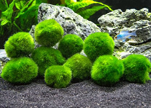 Aquatic Arts 10 Marimo Moss Balls by, 2,5 cm