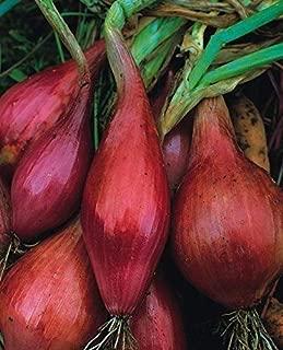 Amazon.es: semilla cebolla