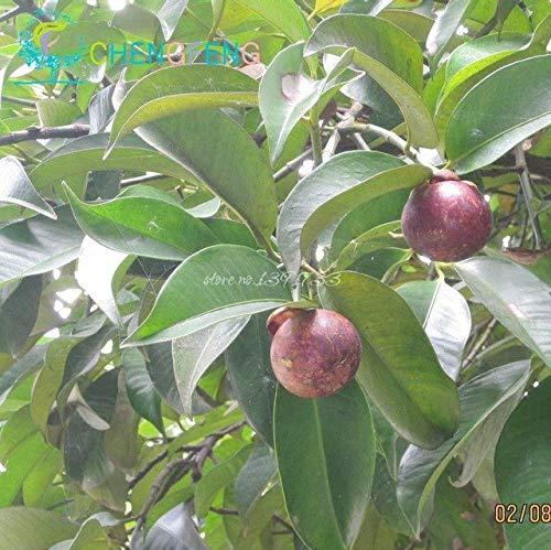 Shopmeeko ¡Ventas calientes!10 unids/bolsa Plantas de mangostán Reina de frutas tropicales rica en nutrientes Plantas frutales deliciosas Plantas de jardín Envío gratis: Verde del ejército