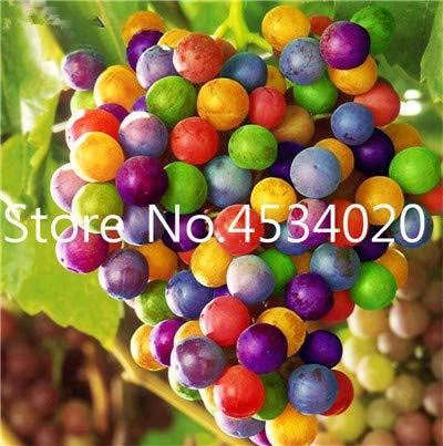 ! Hot Koop 30 stuks druiven planten Rare vinger Biologische Heirloom fruitgewassen, natuurlijke groei druiven boom bonsai voor huis tuin: 12