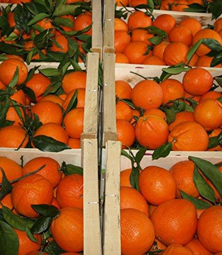 ARISTOS frische Orangen | Apfelsinen | Ungewachst & Unbehandelt | Auch Saftorangen | Schale zum Kochen Backen Marmelade geeignet | Griechische Orangen (2 kg) Ernte: Mitte April