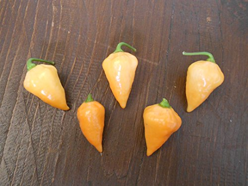 Chili -Orange Lantern- 10 Samen -Top Ertrag- Mini-Chili