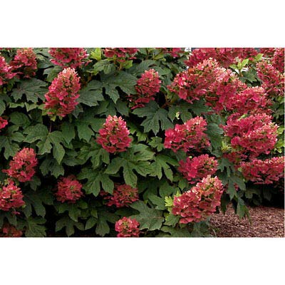 Lumos80 Ruby Slippers Oakleaf Hydrangea - Heavy Rooted - One Gallon Pot - 1 Plant