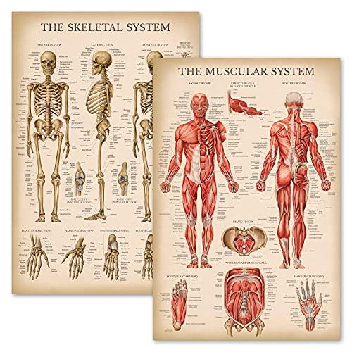 Vintage Muscular & Skeletal System Anatomical Chart Set - Human Skeleton & Muscle Anatomy Posters (LAMINATED, 18