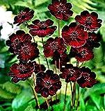 Adolenb Seeds House- Graines de fleurs chocolat rares, graines de fleurs vivaces vivaces fleurs exotiques adaptées aux abeilles graines de cosmos pour balcon, jardin