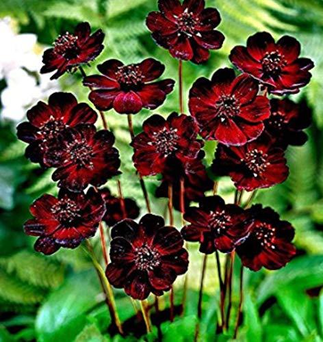 Tomasa Samenhaus- Seltene Schokoladenkosmos-Samen,Garten Blumen winterhart mehrjährig exotische Blumen bienenfreundliche WildBlumen Kosmos Samen für Balkon, Garten