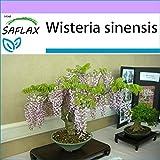 SAFLAX - Glicinia - 4 semillas - Wisteria sinensis
