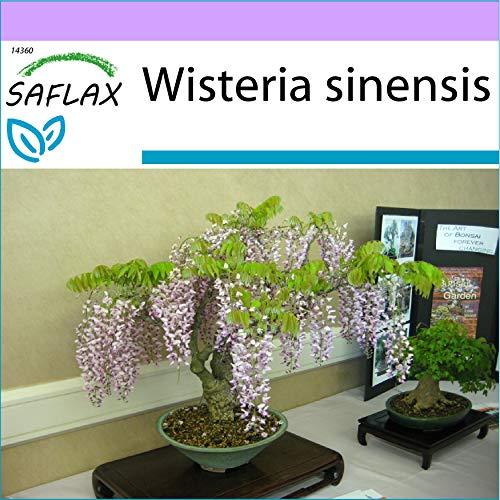 SAFLAX - Glycine de Chine - 4 graines - Wisteria sinensis