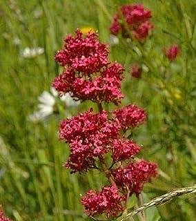 RED JUPITER'S Beard Valerian Keys of Heaven Centranthus Ruber Flower jocad (50 Seeds)