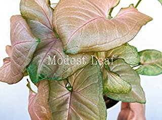 Pink Allusion Arrowhead Plant Nephthytis Syngonium Podophyllum Pink Allusion Pink Plant Easy to Care Arrowhead Vine Pastel Pink Plant Gift