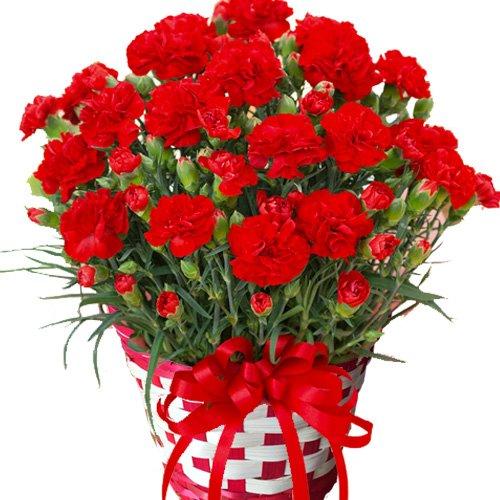 POKHARA 母の日 カーネーション 5号鉢 赤 鉢カバーつき 底面給水だから管理も簡単 丈夫で長く咲いてくれます (レッド)