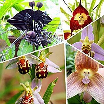 VISA STORE Haus & Garten 100 Stück Topf Peru Monkey Face Orchid Seeds, Affen-Knabenkraut ältere Phaenopsis Bonsai Samen Samen, Plus-M