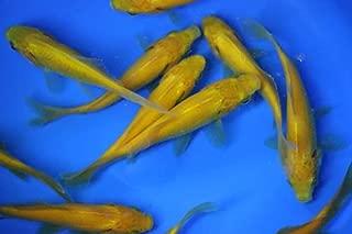 3-4 inch 12 pack live yellow comet goldfish for aquarium fish tank or koi pond