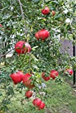 Pixies Gardens (3 Gallon) SALAVATSKI Also Known as Russian-Turk Pomegranate Shrub - Very Large Fruit Orange-red in Skin, red arils and Sweet/Tart Juice. Extremely Cold Hardy. Easy to Grow