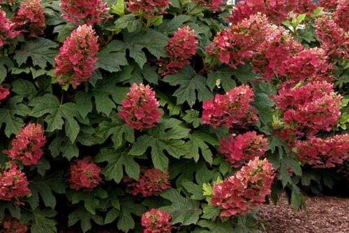 Details About Ruby Slippers Oakleaf Hydrangea Shrub