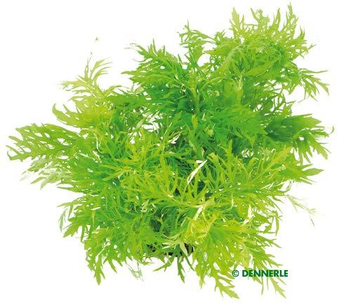 Dekoimtrend Hygrophila difformis Indischer Wasserstern im Topf Wasserpflanze Aquarium Aquariumpflanze