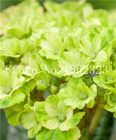 Kalash New 100pcs Hydrangea Blumensamen für Gartenhellgrün