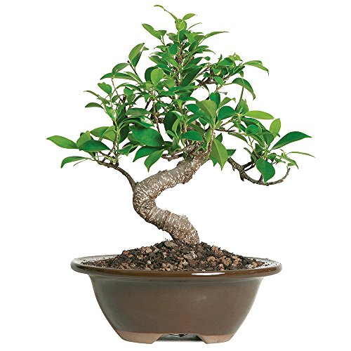 Brussel's Live Golden Gate Ficus Indoor Bonsai Tree - 4 Years Old; 5' to 8' Tall with Decorative Container