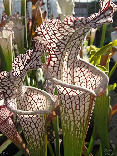 10 CARNIVOROUS WHITE TOP PITCHER PLANT Sarracenia Leucophylla Flower Seeds by Seedville