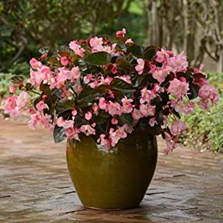 Begonia Megawatt Bronze Leaf Pink Flower Seeds (100)