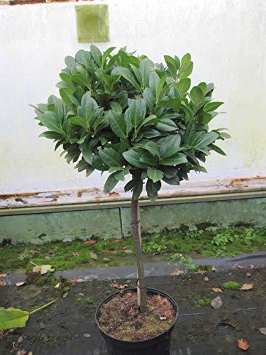 Baumschule Pflanzenvielfalt Prunus...