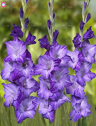 SANHOC 100Pcs Rare Gladiolen Staudenblumen HauptGardening Pflanzen Bonsai Gartendekoration Innen- und Außen Anlage einfach zu wachsen