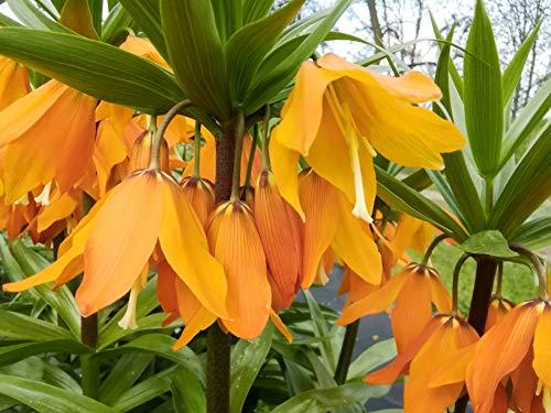 20 x Orange Kaiserkronen Samen Fritillaria Imperialis Eduardii