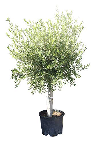 Olivenbaum - Olea europea - 160/170 cm - dicker Stamm 20/40 cm Umfang - Winterhart