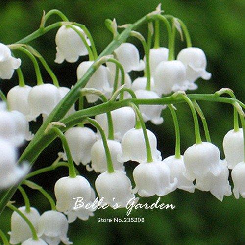 50pcs del lirio blanco de las semillas del valle Convallaria majalis perenne...