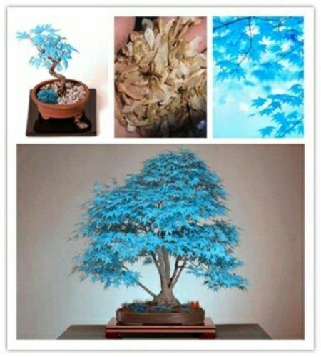 Rare Bleu Maple Graines Maple Graines Plantes Bonsai Arbre en pot jardin japonais Maple Seeds 30 Pieces / lot F63