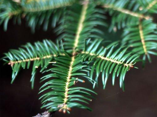 Abies Firma Japanische Tannenbaum, Samen