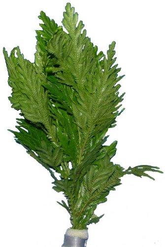 Selaginella wildenowii - Regenschirmfarn, Wasserpflanzen, Aquariumpflanzen