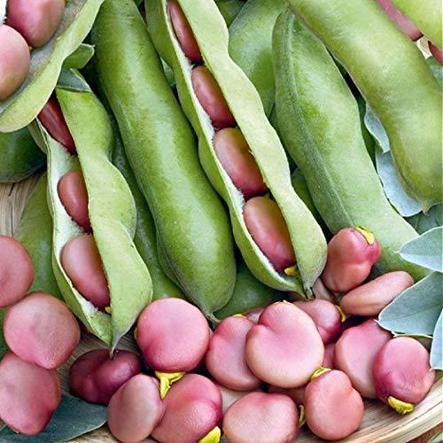 Broad Bean Pink - KARMAZYN