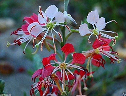 25 Samen Scarlet Gaura - Gaura coccinea - auch bekannt als