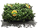 6 x Golliwoog - Futterpflanze für Bartagamen,...