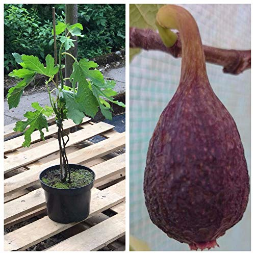 Müllers Grüner Garten Shop Feige Brown Turkey kräftige Fruchtfeige Feigenbaum Ficus carica 3,5 Liter Topf ca. 60-100 cm
