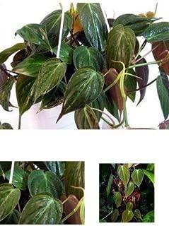 Plant Rare Velvet Leaf Bronze Micans Vine Indoor Easy to Grow 4