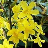 種子パッケージ:2冬ジャスミン根ざしたカッティング:黄色い花冬のジャスミン(オウバイ)根ざしCuttingSeeds