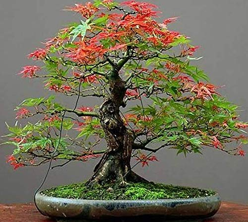20Pcs Maple Tree Seeds Japanese Red Maple Bonsai Seeds Garden Bonsai Beautiful Indoor Potting Plant