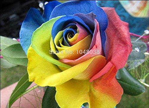 Belles fleurs graine rare Raindow Rose Garden Fleurs Plant, Colorful Graines Rose Fleur, 20pcs / bag, Graines gros