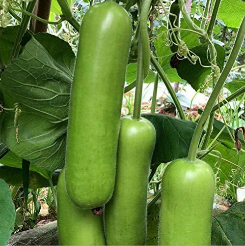 20+ Long Bottle Gourd Seeds Edible Asian Indian Opo Squash Dudi Calabash Long Melon