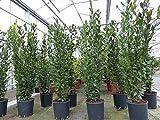 Gewürzlorbeer Laurus nobilis 180 cm